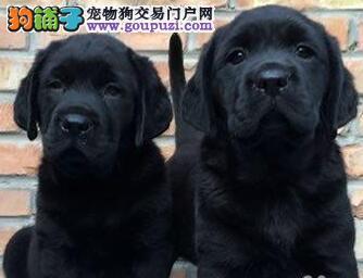 直销精品拉布拉多犬血统纯种南昌地区建议上门挑选