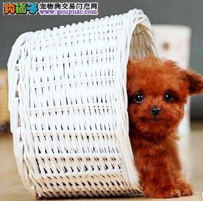 当下最流行的贵宾犬泰迪熊犬毛色红巨可爱