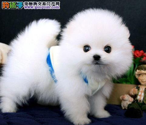 济南哪里出售博美?济南哪里出售纯种博美幼犬?