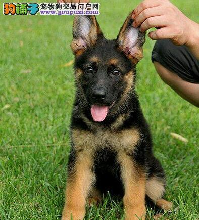 三明知名犬舍出售多只赛级德国牧羊犬签订三包合同
