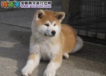 海口犬舍出售顶尖血系秋田幼犬 喜欢的朋友们别错过