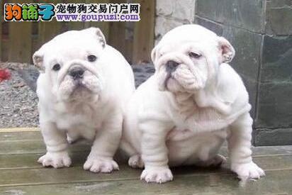 出售精品优质福州斗牛犬 价格优惠专业养殖基地繁殖