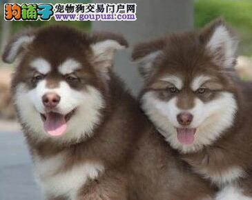 基地直销高品质阿拉斯加幼犬 杭州上门选购送用品