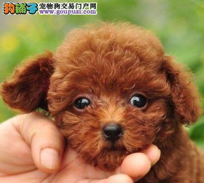上海本地犬舍直销出售贵宾犬 已做疫苗多只购买可优惠