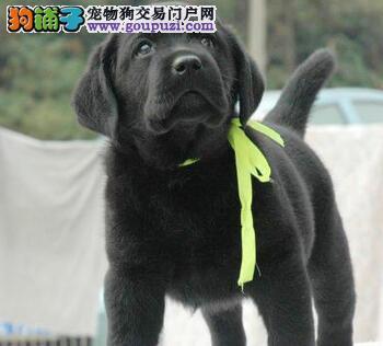 正规犬舍出售海口拉布拉多犬 保证健康纯种 欲购从速
