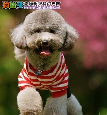 海口养殖基地出售纯种贵宾幼犬 免费送货可刷卡