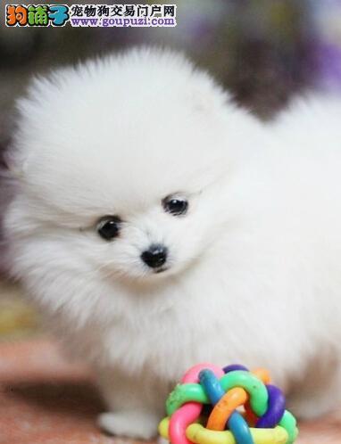 武汉正规犬舍出售聪明可爱健康的博美犬 免费送货