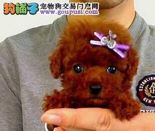 杭州犬舍出售健康漂亮泰迪犬幼犬签协议请放心选购