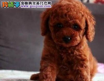 可爱的巨型贵宾幼犬找爸爸妈妈 杭州市内免费送货