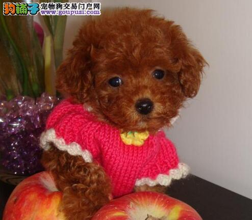 大型犬舍专业繁殖朝阳贵宾犬 品种纯种有血统证书