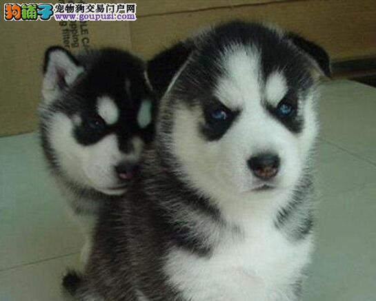 三把火蓝眼睛健康的沈阳哈士奇幼犬低价出售 签协议