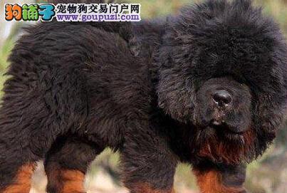 超低价优惠出售南昌藏獒幼崽 可随时视频看种犬