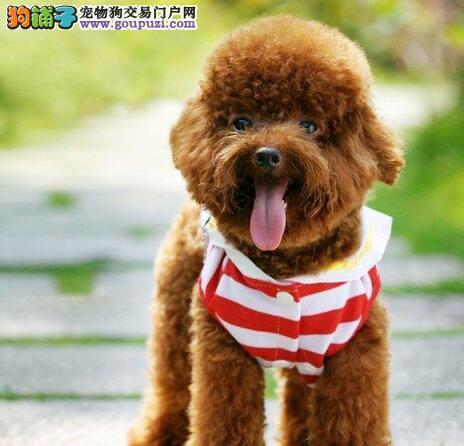 热销优秀血统南京贵宾犬 国外引进血统有血统证书