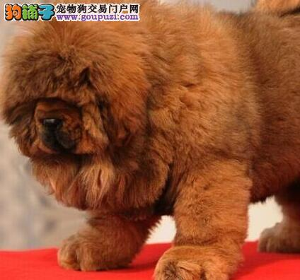 低价出售纯种原生态藏獒 杭州正规犬舍专业繁殖