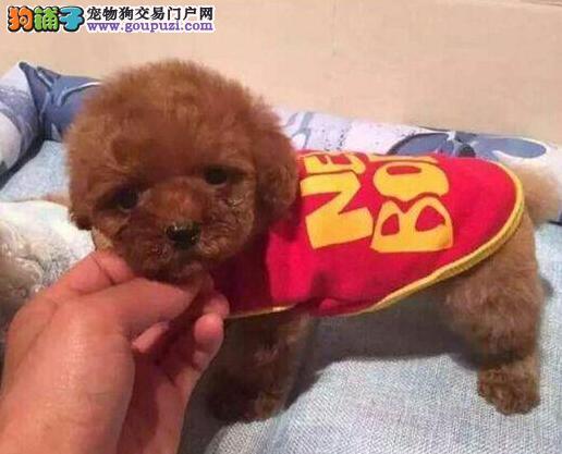热销韩国血统的泰迪犬 建议来石家庄上门购买可签协议