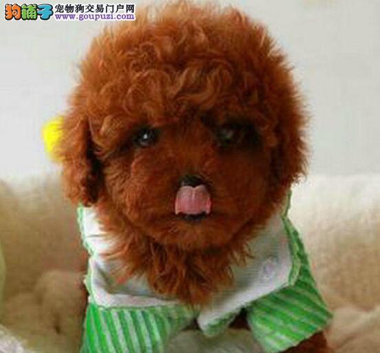 精品韩国血统贵宾犬郑州大型狗场专业出售 保证纯度