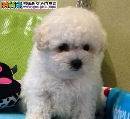 国际注册犬舍 出售极品赛级贵宾犬幼犬微信咨询看狗狗照片