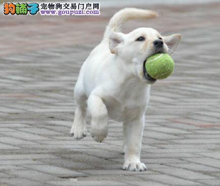 广州正规犬舍出售聪明听话的拉布拉多犬 狗贩子勿扰
