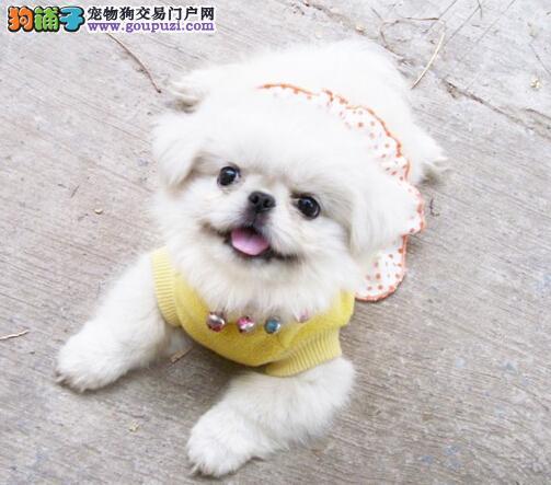 宠物狗出售 哪里有卖京巴犬北京犬