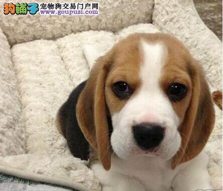 犬舍低价热销 比格犬血统纯正可包邮