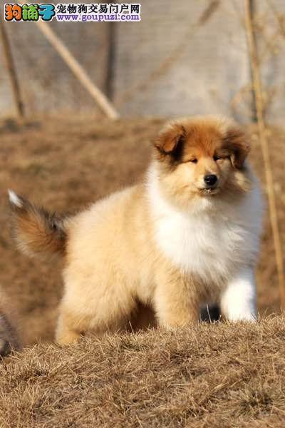 长沙那里出售苏牧犬包纯种健康