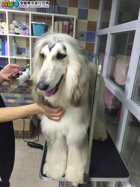 合肥CKU认证犬舍出售高品质阿富汗猎犬赛级品质保障