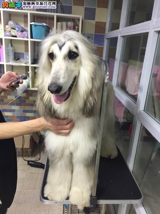 专业繁殖纯种阿富汗猎犬疫苗齐全全国十佳犬舍