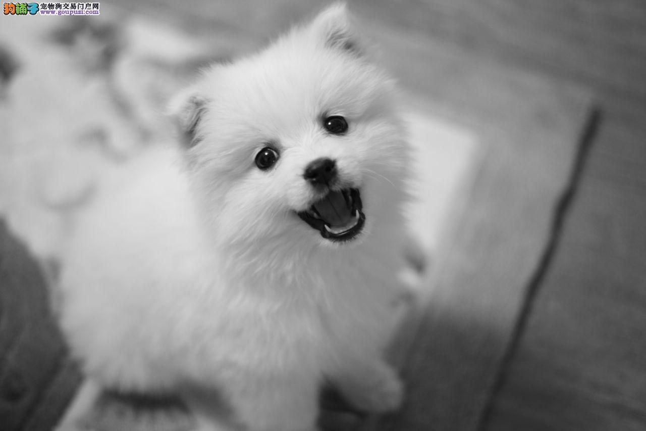 100%纯种健康的郑州银狐犬出售签订终身纯种健康协议