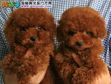 自家犬舍出售顶级精品泰迪犬 合肥地区可送货上门