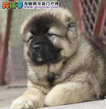 高品质西安高加索犬犬舍促销价格出售 多只购买可优惠