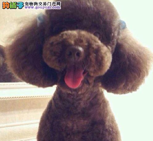 朝阳狗场出售茶杯血系的贵宾犬 全方位完美售后服务