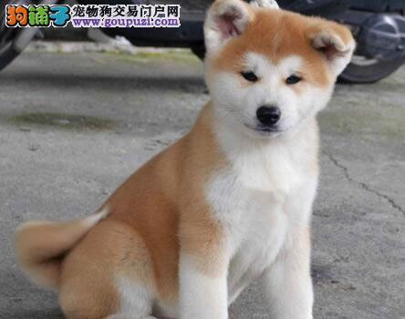 杭州正规狗场出售纯日系秋田犬 建议您直接上门选购