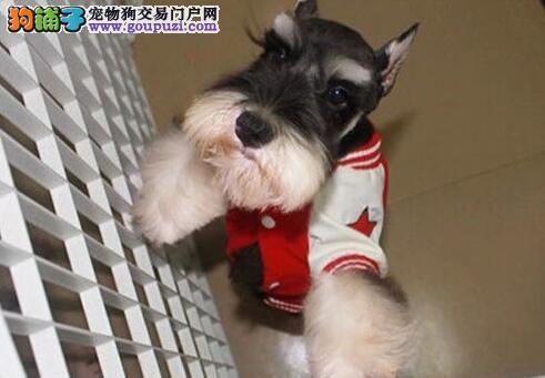 高品质椒盐灰黑雪纳瑞幼犬低价出售 杭州市内可送货