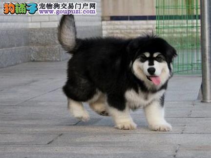 纯正巨型的渝中阿拉斯加雪橇犬找新家 图片均实物拍摄