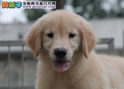 出售骨量足毛量好的双血统金毛犬 杭州市内免费送货