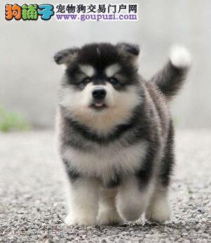 双血统熊版渝中阿拉斯加犬超低价出售重 三个月包退换