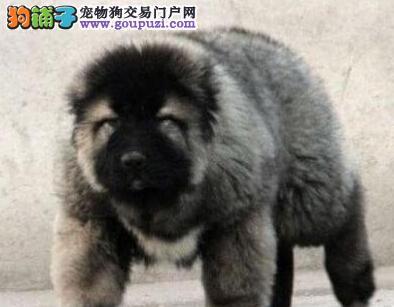 狗舍直销高品质南昌高加索犬品质保证售后三包