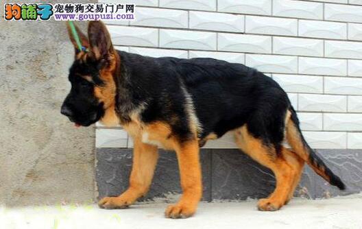 出售疫苗驱虫齐全的锤系杭州德国牧羊犬 完美售后服务