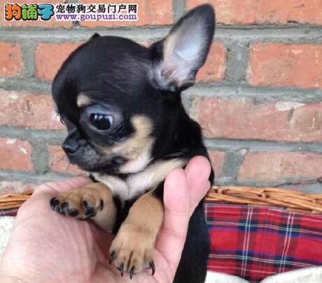 迷你纯种大眼睛吉娃娃幼犬西安期待你的到来 超小体型