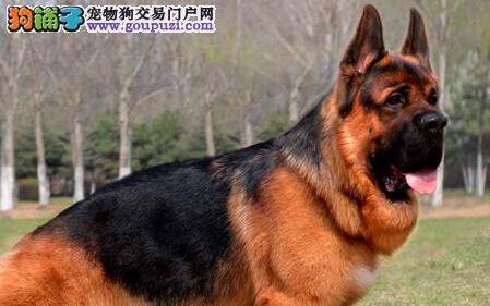 特价转让大头锤系长沙德国牧羊犬 实体店出售欢迎看狗