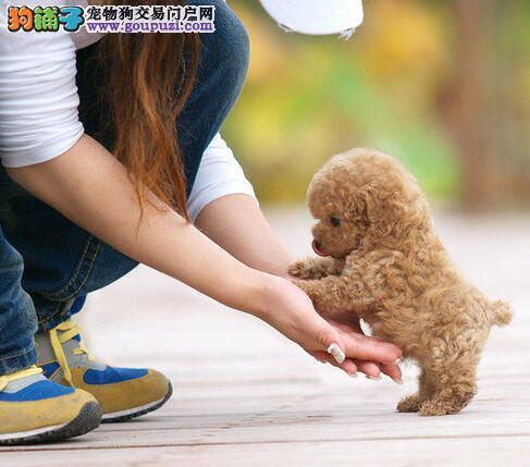 极品韩系上海贵宾犬转让 国外引进支持全国空运发货