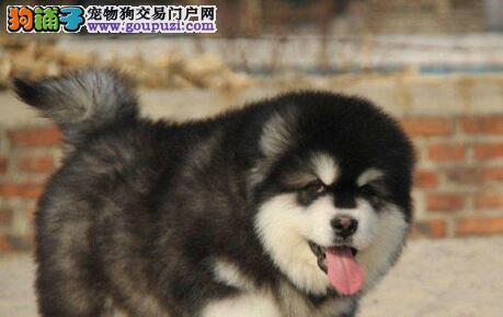 出售纯种健康的厦门阿拉斯加犬 完善的售后跟踪服务