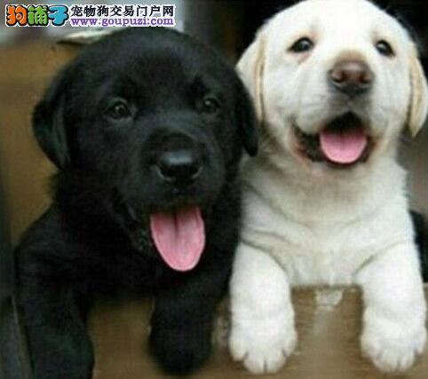 呼和浩特实体店面出售拉布拉多犬 健康质保 可签订协议