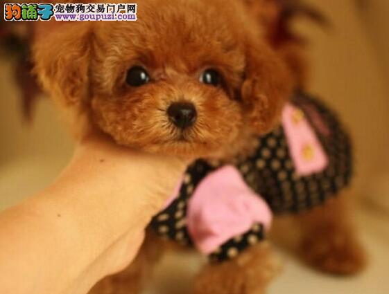 低价转让韩系可爱天津贵宾犬品种齐全签售后