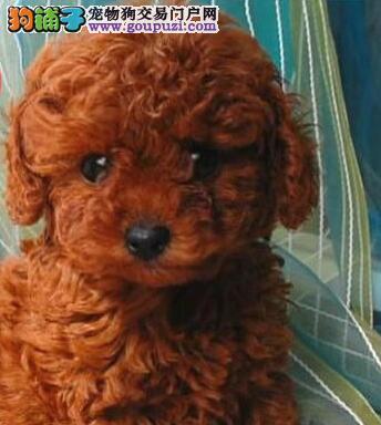 纯种韩系深圳贵宾犬低价出售 血统纯正已做好进口疫苗