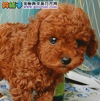 优秀血统重庆贵宾犬低价出售 国外引进可全国空运发货