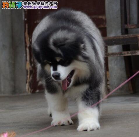 犬舍直销品质好的渝中阿拉斯加雪橇犬驱虫已做