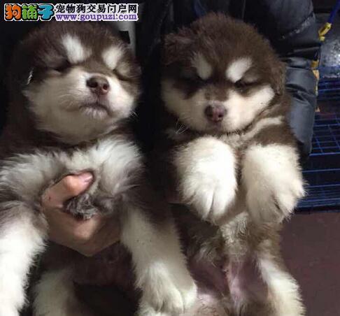 转让极品双十字渝中阿拉斯加雪橇犬 细小和狗瘟包退换