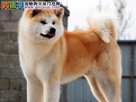 青岛基地直销日系秋田犬毛色亮丽驱虫已做完