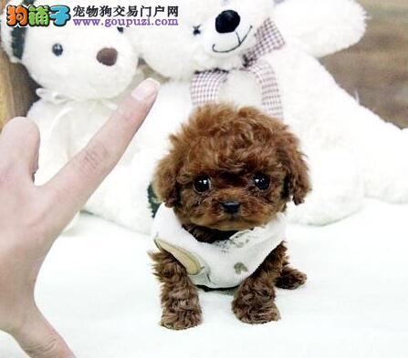 出售自家繁殖的保定贵宾幼犬 喜欢的朋友上门选购哦